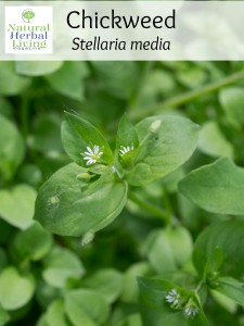 chickweed cover photo