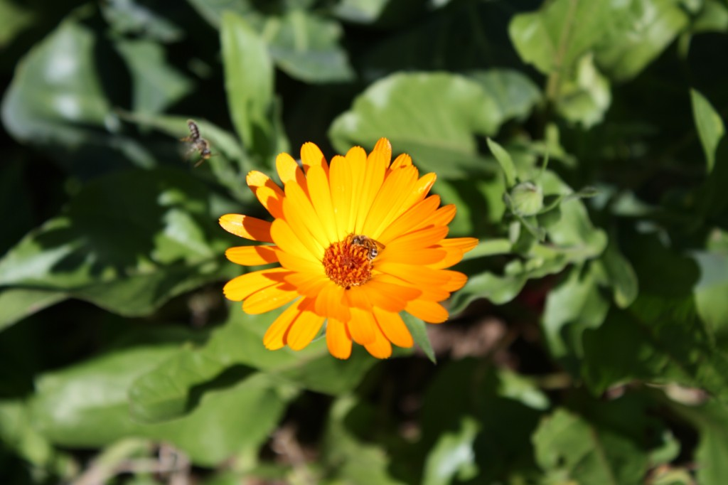 Calendula Herb Box Announcement and Preview