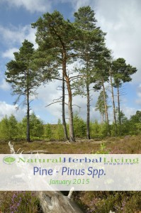 pine cover photo